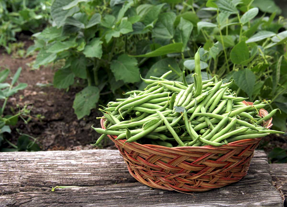 "Featured image for ""Growing Bush Beans"""