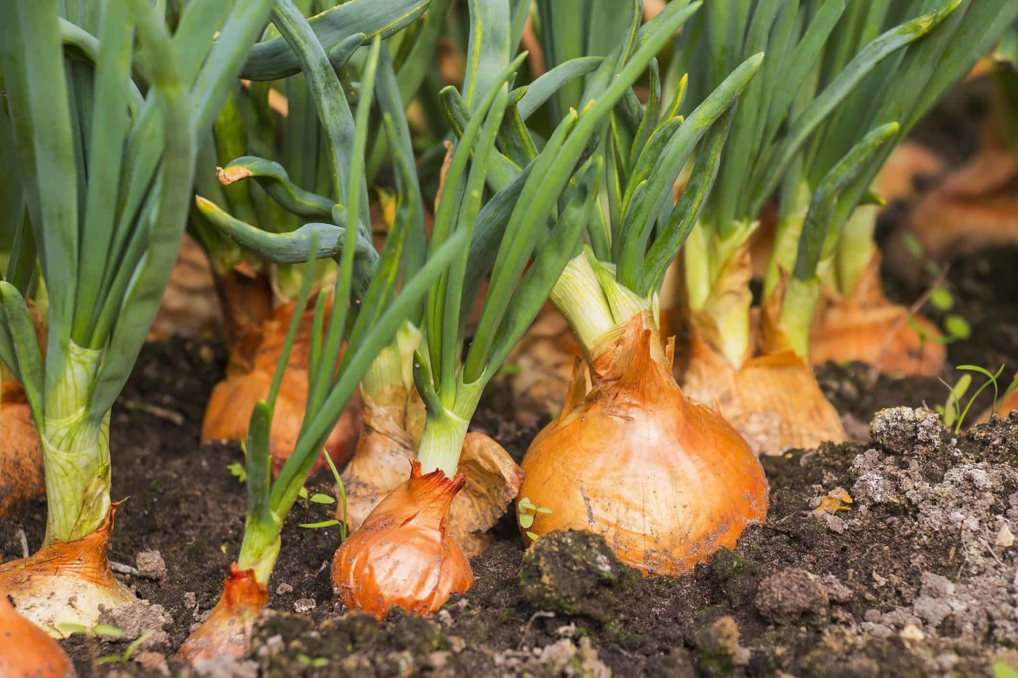"Featured image for ""Growing Onions"""