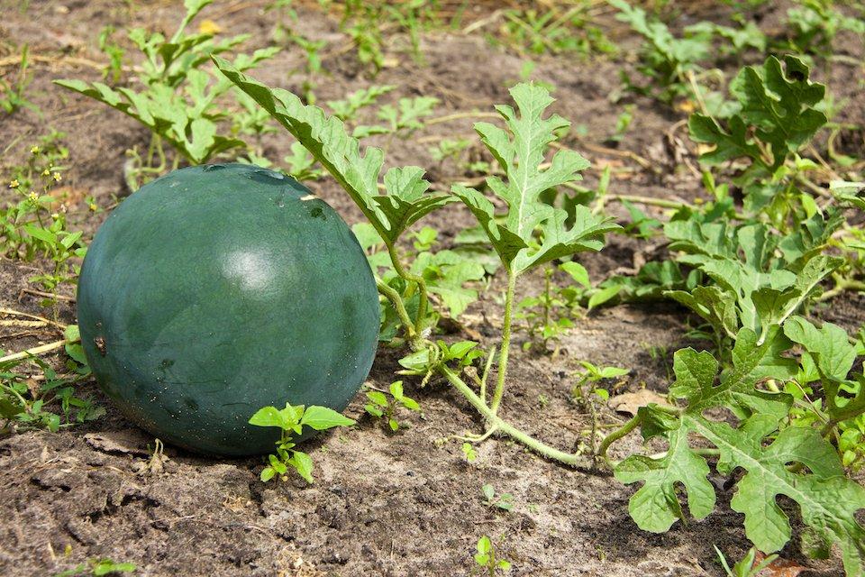 Organic Seed Sugar Baby Watermelon San Diego Seed Company