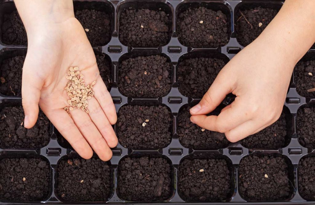 starting seeds in plastic tray