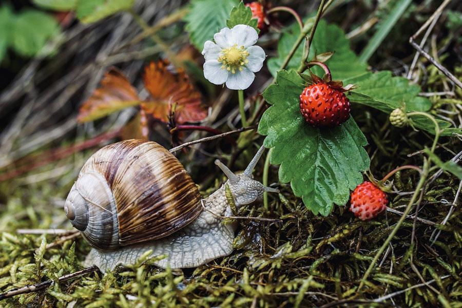 snail in garden with strawberries