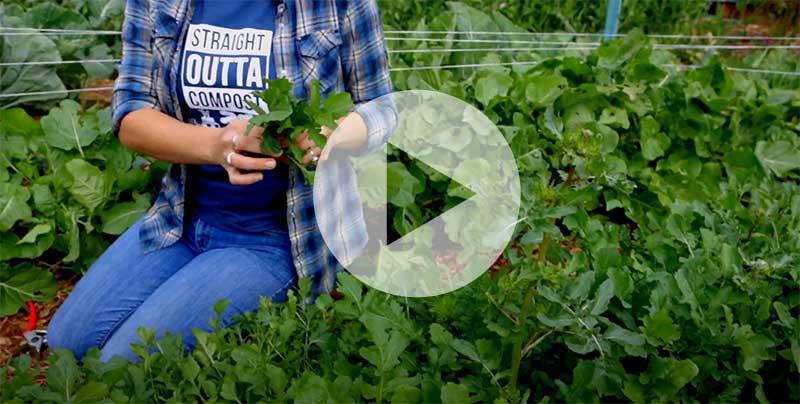 Arugula harvesting technique video