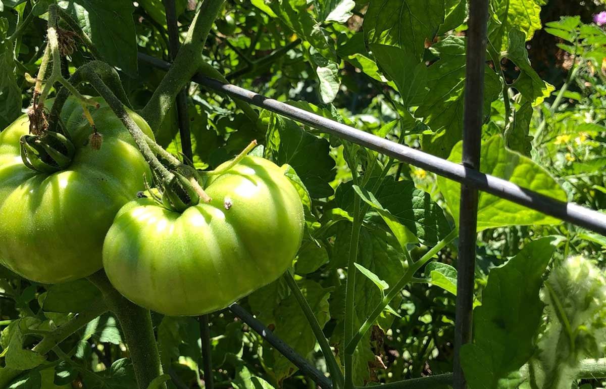 """Featured image for """"DIY Tomato Trellis Systems"""""""