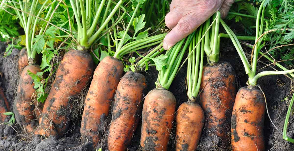 """Featured image for """"Growing Carrots from Seeds"""""""