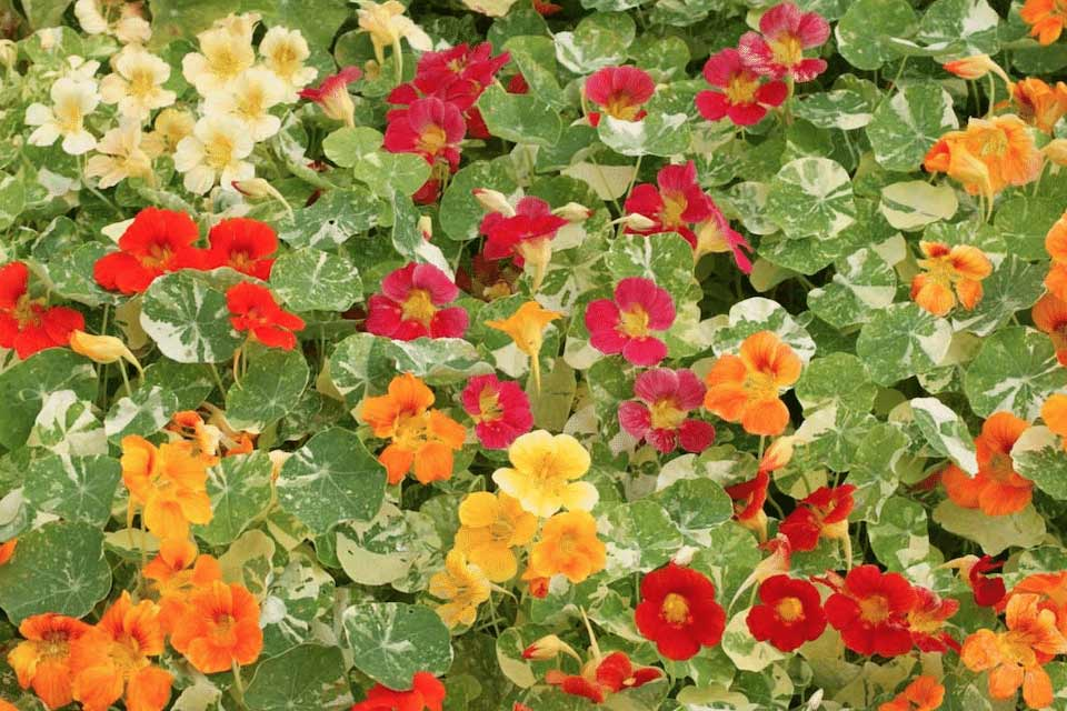 Nasturtium-Companion Plants