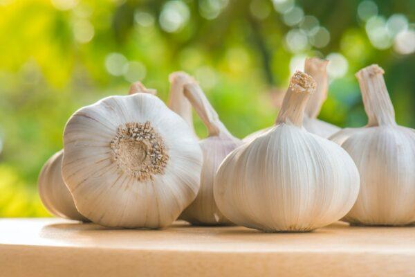 garlic, california early