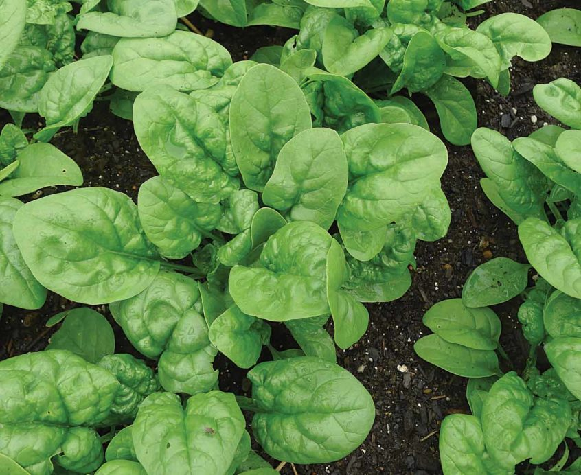 Growing spinach from seed