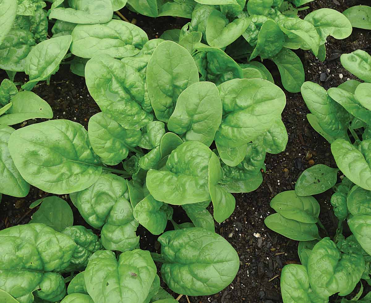 """Featured image for """"Growing Spinach From Seed"""""""